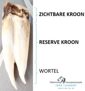 Paarden hebben hypsodonte tanden: een lange kroon (zichtbare + reserve) en een korte wortel. Dit is een onderkies van een jong paard.