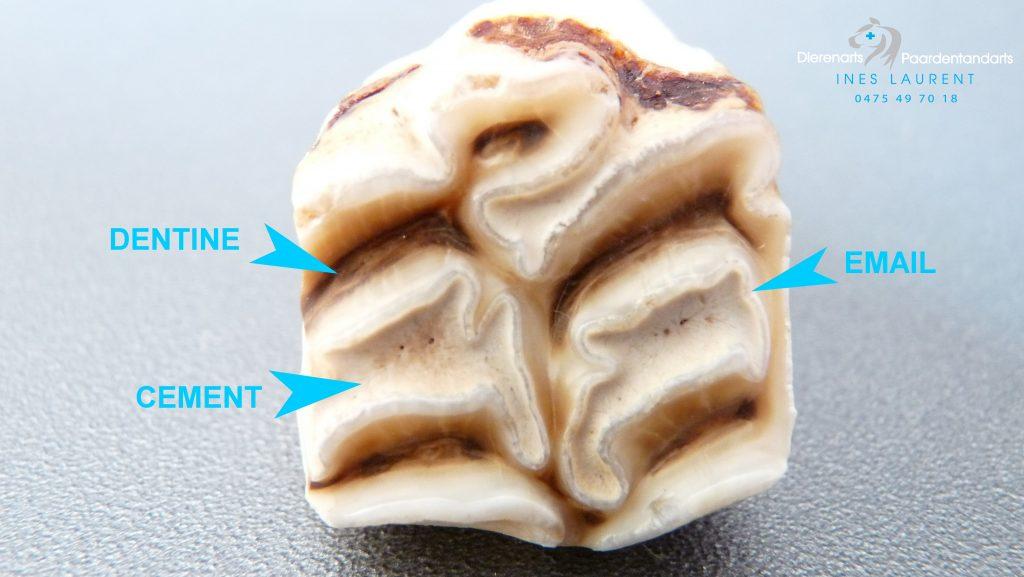 Kauwvlak van een bovenkies waarop de 3 bestanddelen van een tand te zien zijn.