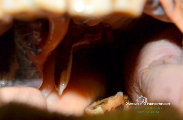 Koliek door tandproblemen