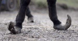 Overgroeide hoeven, een duidelijk teken van paardenverwaarlozing